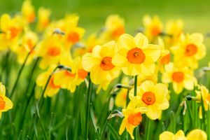 Daffodil-Meaning